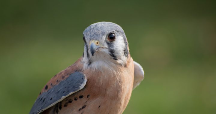 american kestrel - what is a kestrel