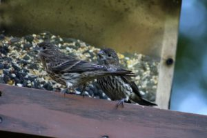 house finch female - purple finch or house finch-how to tell the difference