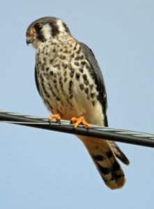 Kestrel - what is a kestrel