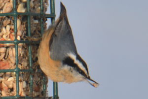 red breasted nuthatch - red breasted nuthatch bird wintering in my backyard