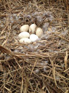 goose eggs on nest - canada goose nesting