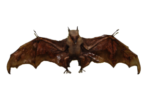 bat- 10 interesting facts about bats