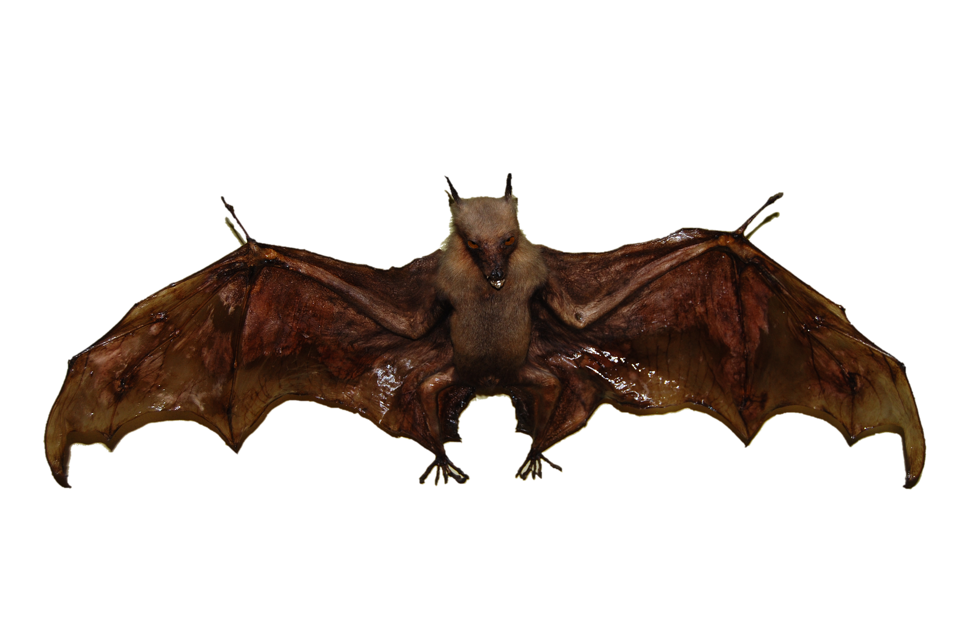bat- 10 interesting facts about bats
